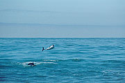 Picture 'Nz2_13_1 Dolphin, Dusky Dolphin, New Zealand, Kaikoura'